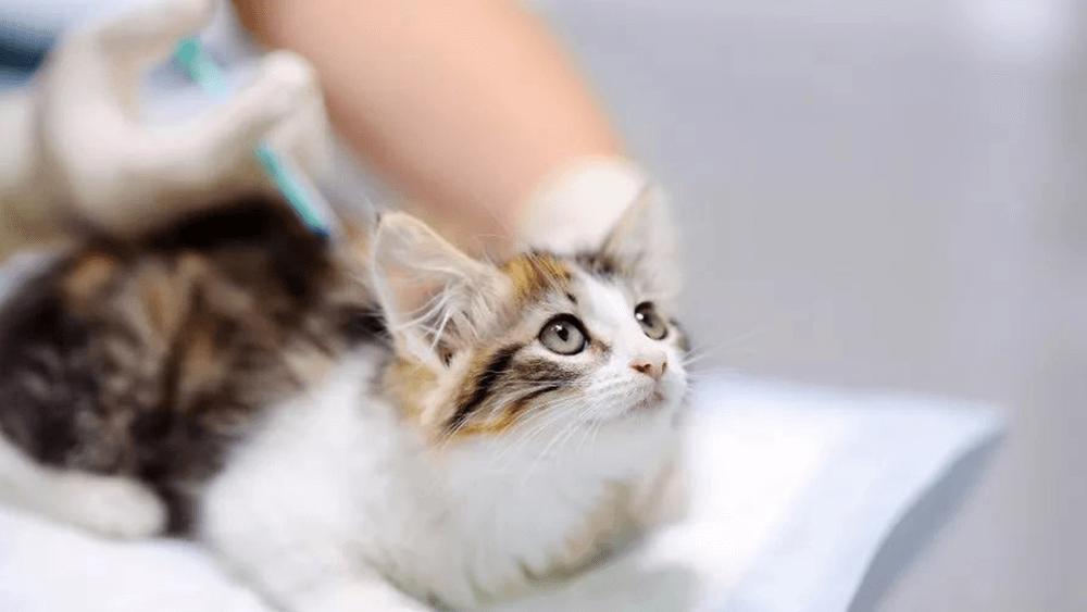 Vacinação de Gatos